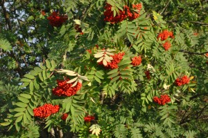 rowan tree 1