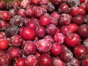 """organic """"Santa Rosa"""" plums"""